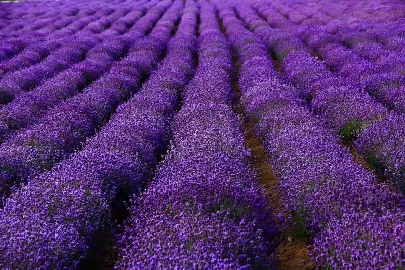 用于提炼精油的薰衣草,同时也是景观