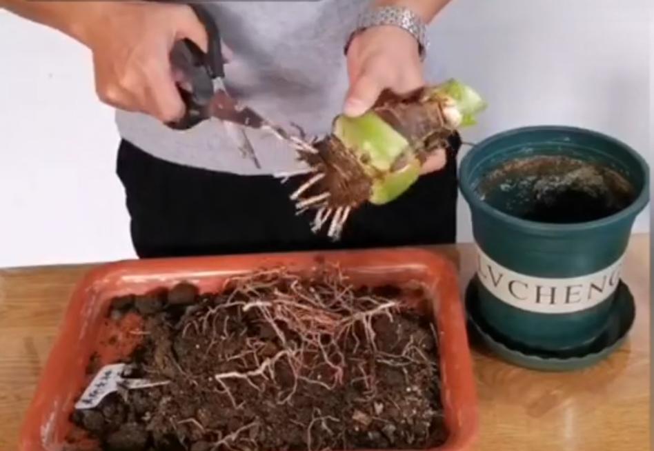 然后将根系保留2到3厘米长,其他都剪掉