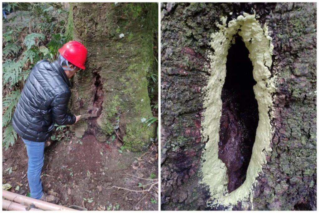 古树名木树洞如何修复