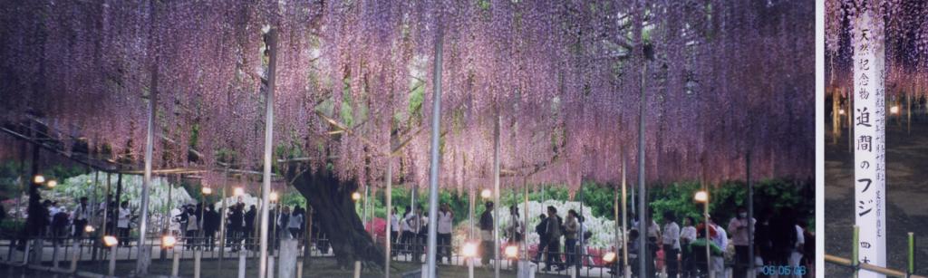 日本最大株的紫藤属植物,位于足利市的足利花卉公园,于1870年栽种,截至2008年占地已近半英亩