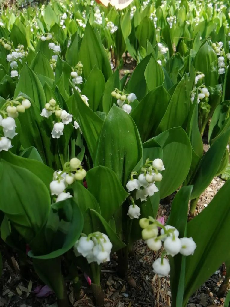 2020年4月  北京  正值盛花期的铃兰花境成片栽植效果