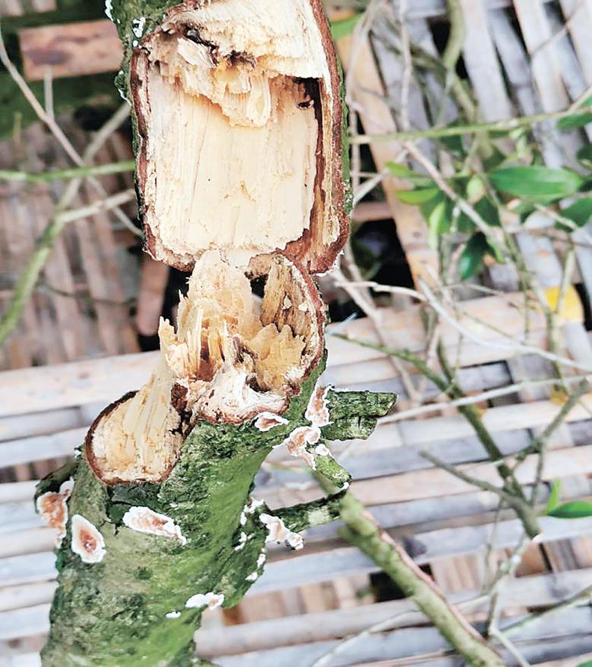 病害对古树的影响