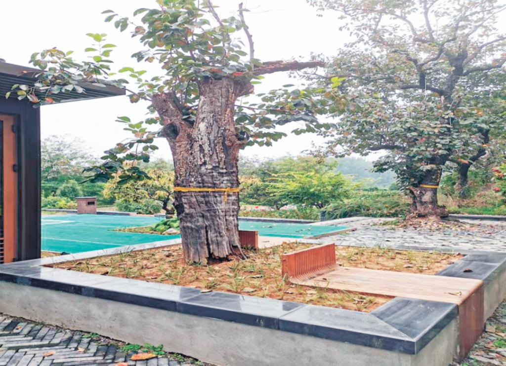 虫害对古树的影响