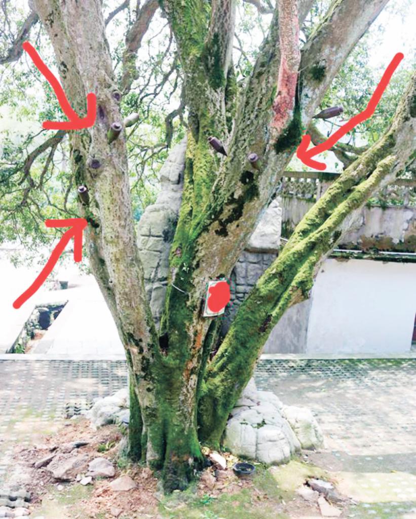 插瓶或输液伤口对古树的影响