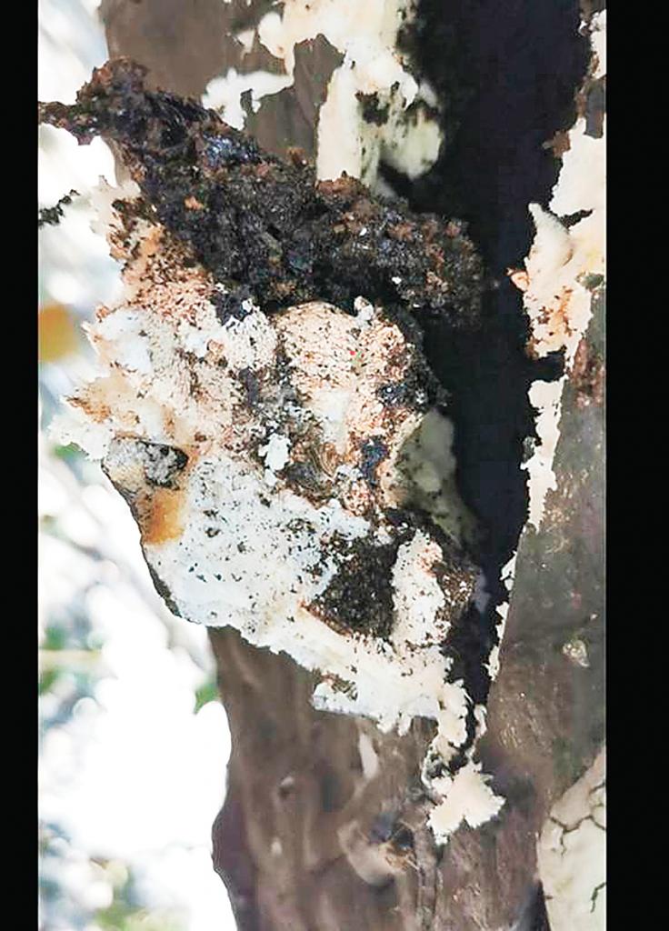 发泡剂填充对古树的影响