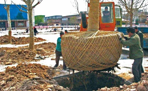 如何提高大树移栽成活率
